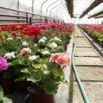 Бизнес по выращиванию цветов в теплице