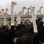 Разведение страусов как бизнес — план фермы.