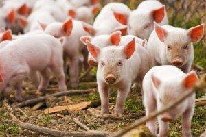razvedenie-svinej-kak-pribylnyj-biznes