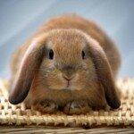 Разведение декоративных карликовых кроликов.