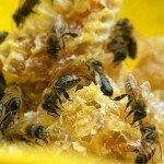 Пчеловодство как бизнес – с чего начать?
