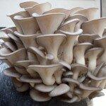 Как организовать бизнес на выращивании грибов вешенка?